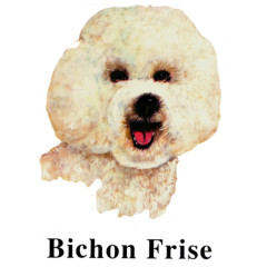 Rassehund Bichon Frise