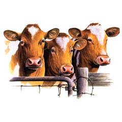 Guernsey Kühe am Zaun