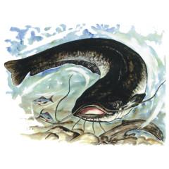 Angler-Motiv: Wels