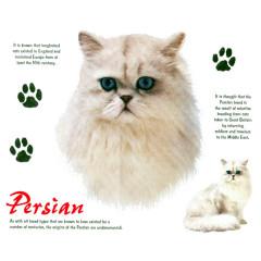 Rassekatzen: Persian, Perser