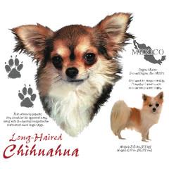 Chihuahua Langhaar Hund